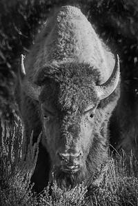 Menacing Bison