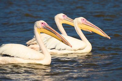 Pelicans, Lake Chamo, Ethiopia