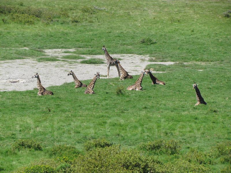 Eight giraffes sitting, Tanzania, East Africa