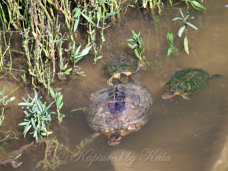 Red-eared Slider Mating Behavior 14