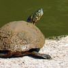 Male Texas Cooter At White Rock Lake