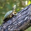 Another Climbing Turtle