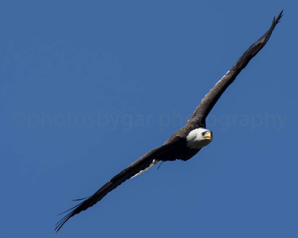 Eagle Attack!
