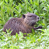 Nutria Using Its Hands