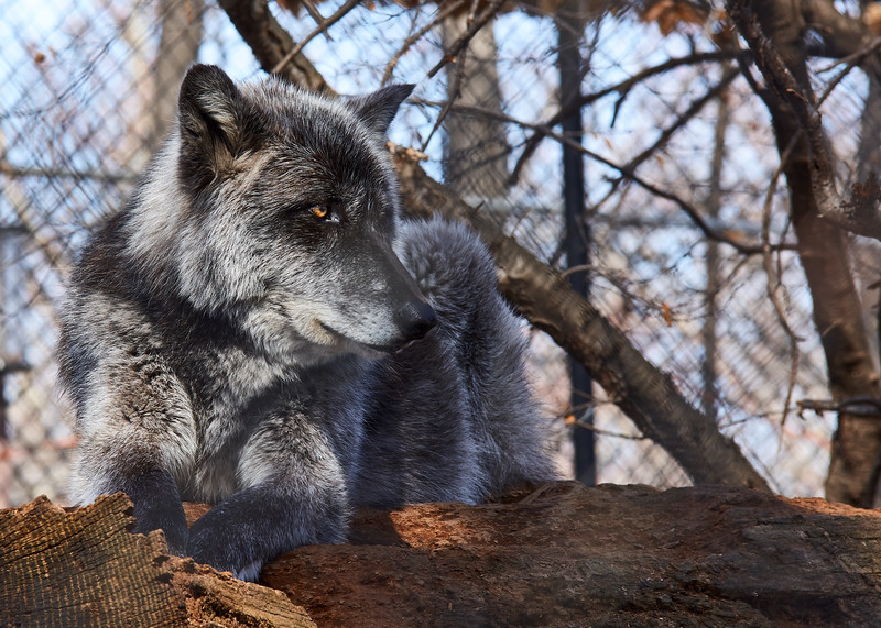 <h1>Gray Wolf</h1> <p>Vince Mullen is a photographer in Batavia, NY. See more of my <a>Animals at Convincedimaging.com</a></p>