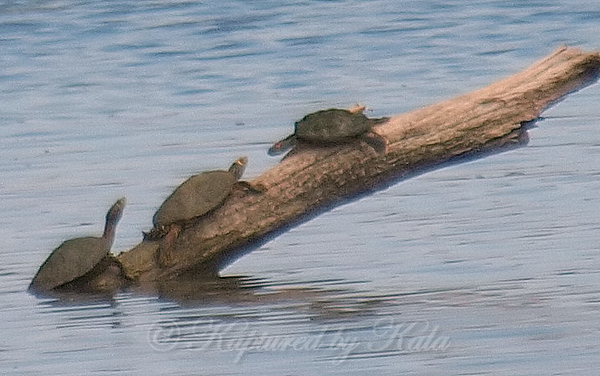 Two Map Turtles In Sunset Bay View 1