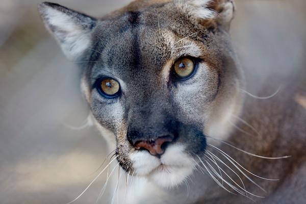 Profile of a Mountain Lion