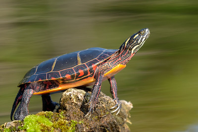 Painted Turtle Closeup