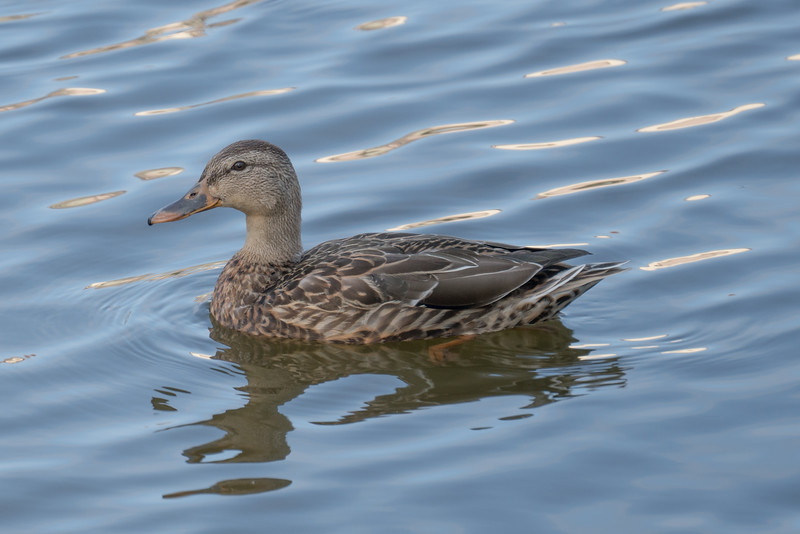 092016 Mallard Duck - Davis and Laurel - Salinas 007 4x6L