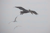 Pelicans in the Mist IV