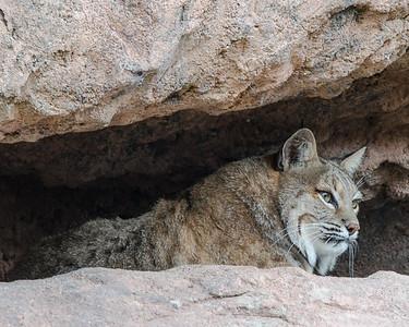 Bobcat in Shaded Nook