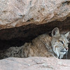 Bobcat in Shaded Nook
