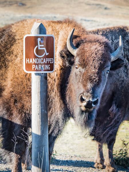 Bison Cautioning Tourists