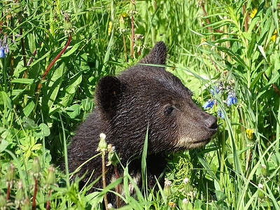 Black Bear Cub, Alaska