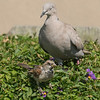 080516 Birds and Dove - Salinas 031a 5x7P