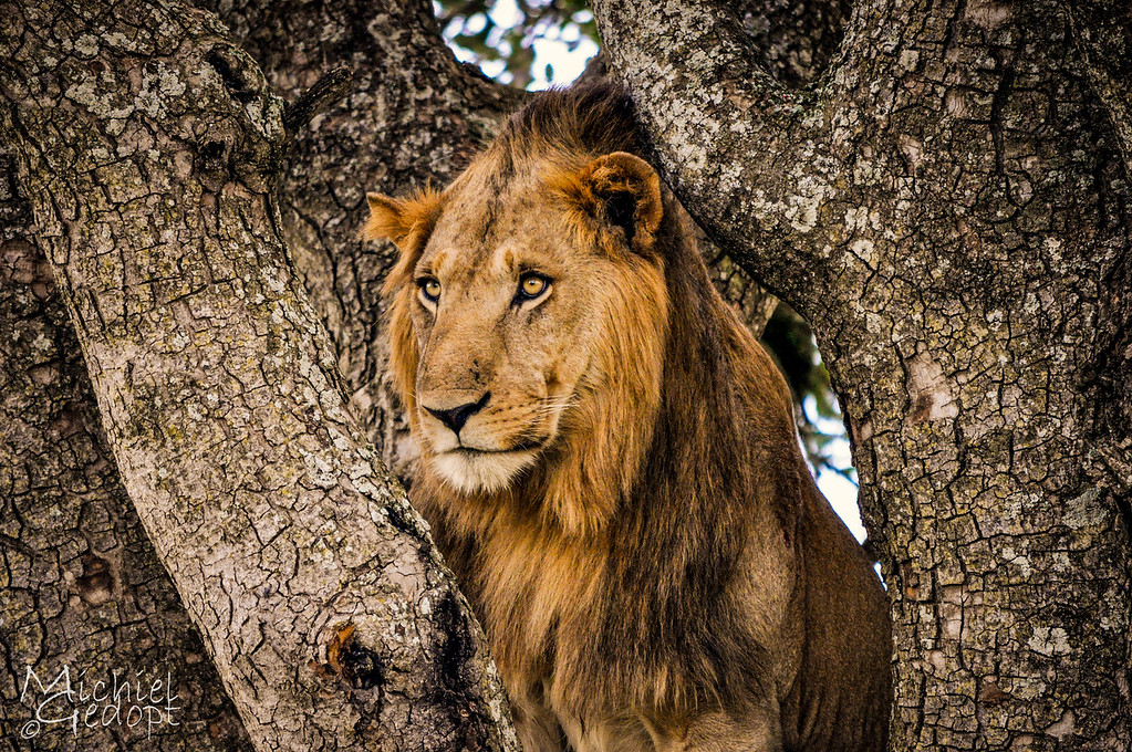 Tree Lion in Kidepo National Park - Uganda
