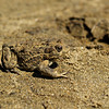 Toad in the sand