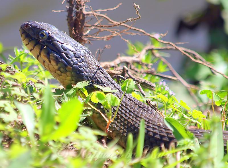 Plain-bellied Watersnake #1 Head View