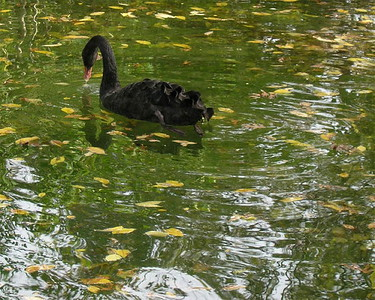 A black swan at the Ft Worth Zoo