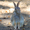 Rookery Rabbit