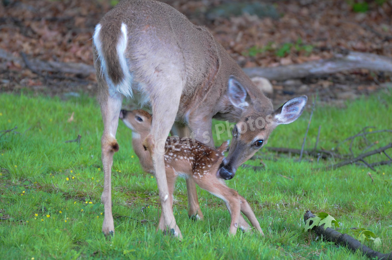 MOTHER AND FAWN-HAGADORN
