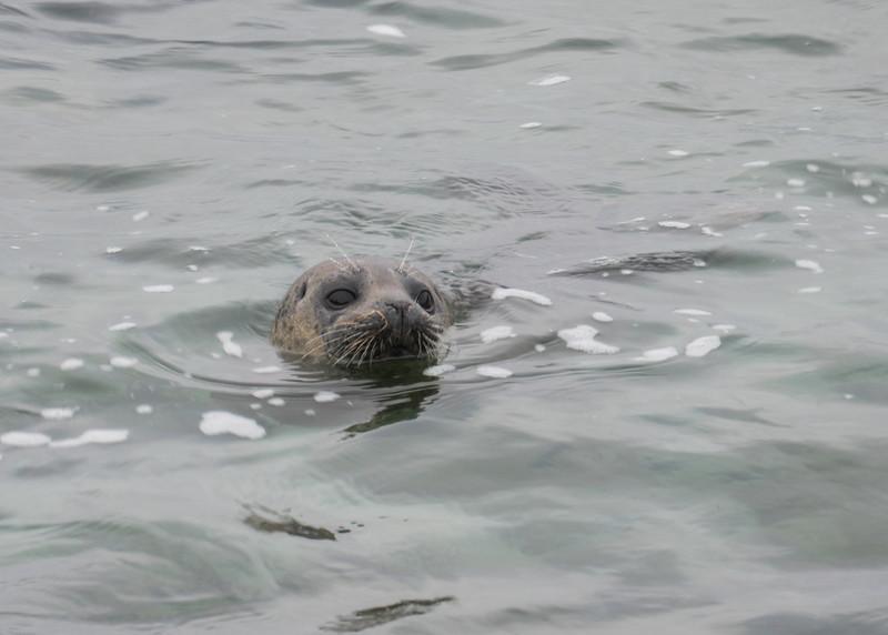071616 Seal - Point Cabrillo - Pacific Grove 001 5x7L