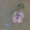 Red-eared Slider Mating Behavior 20