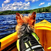 The Yorkie and the kayak
