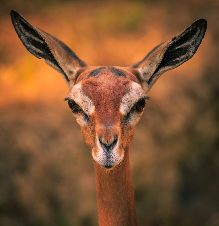 Southern Gerenuk