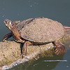 Possibly A 2nd Ouachita Map Turtle