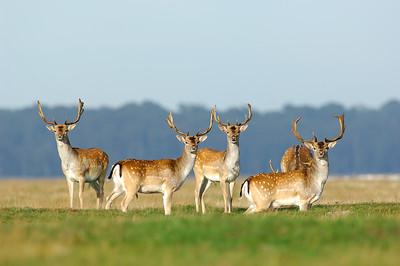 Fallow deer , Dovhjort
