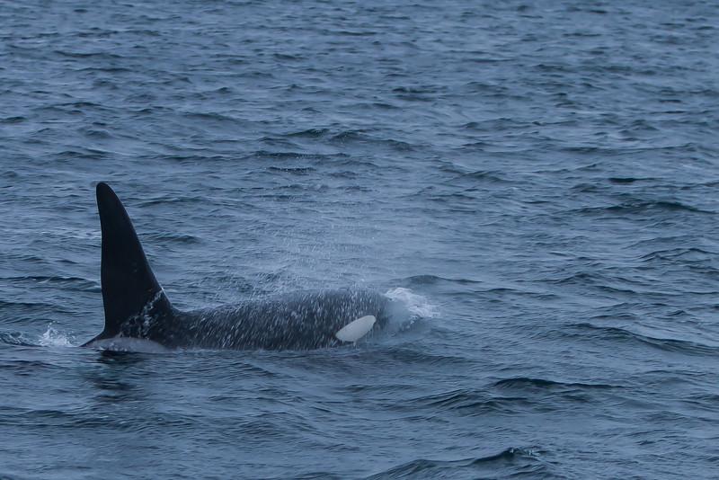 Killer whale at Summary, Troms.