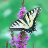 Swallowtail Butterfly on Purple Loosestrife - Vertical