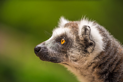 Profile portrait of Ring-tailed Lemur