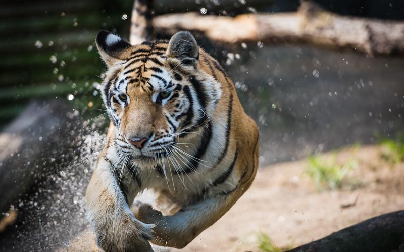 tiger-world-5092
