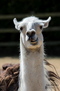 Dumb animal. Cute crazy llama pulling face. Funny meme image.