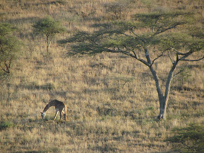 Giraffe grazing, view from hot air balloon, Tanzania, Africa
