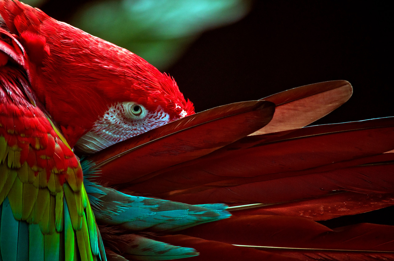 Scarlet Macaw (Ara macao) hiding in its feathers