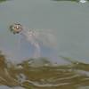 Mississippi Map Turtle Checking Me Out