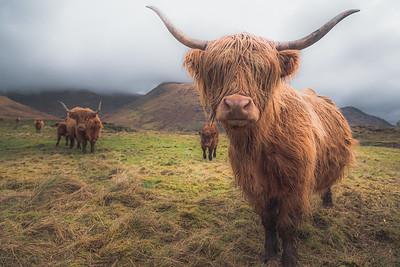 Hairy Coo, Loch Awe