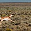 Pronghorns Running