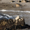 070916 Seal - Point Cabrillo - Pacific Grove 008a 5x7L-2