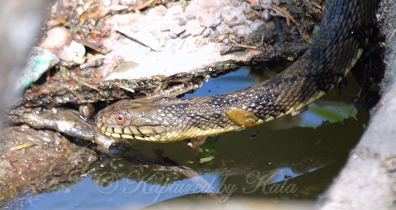 Diamondback Water Snake Mating Behavior 4