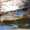 Diamondback Water Snake Mating Behavior 4