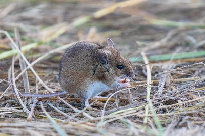 Yellow Necked Field Mouse 2