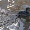 013115 Bird - El Estero Park - Monterey 029 4x6L