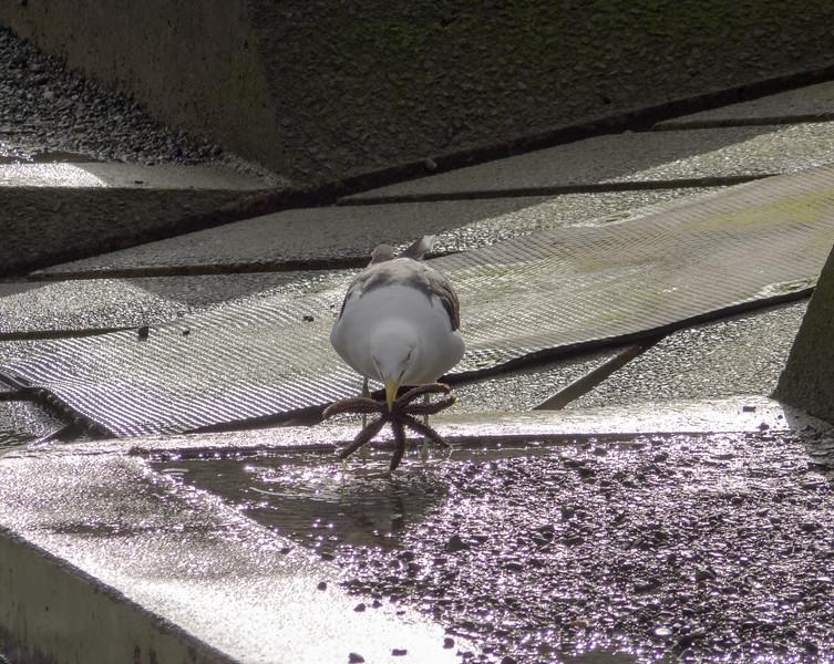 Starfish Gull