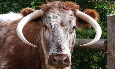 English longhorn.