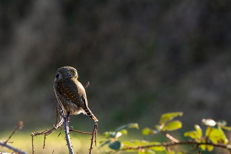 Northern Pigmy Owl (Glaucidium gnoma)