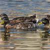 092016 Mallard Duck - Davis and Laurel - Salinas 017 4x6L